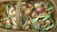 Onion_basket_sarah
