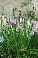 Chives1